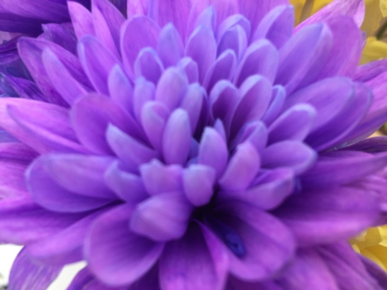 Purple Chrysanthemum (Aldi)