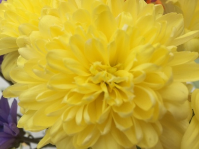 Yellow Chrysanthemum (Aldi)