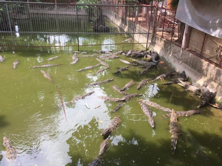 Crocodiles in Mekong Delta, Vietnam