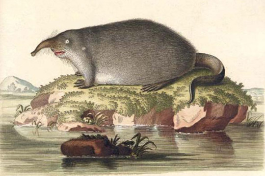 18th century drawing of a shrew from unseeliefaerie.tumblr.com