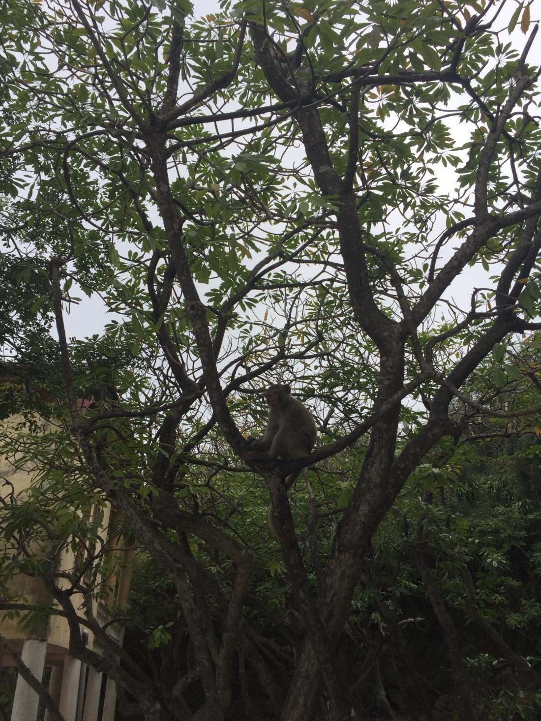 Monkey in a tree Ha Long Bay Vietnam