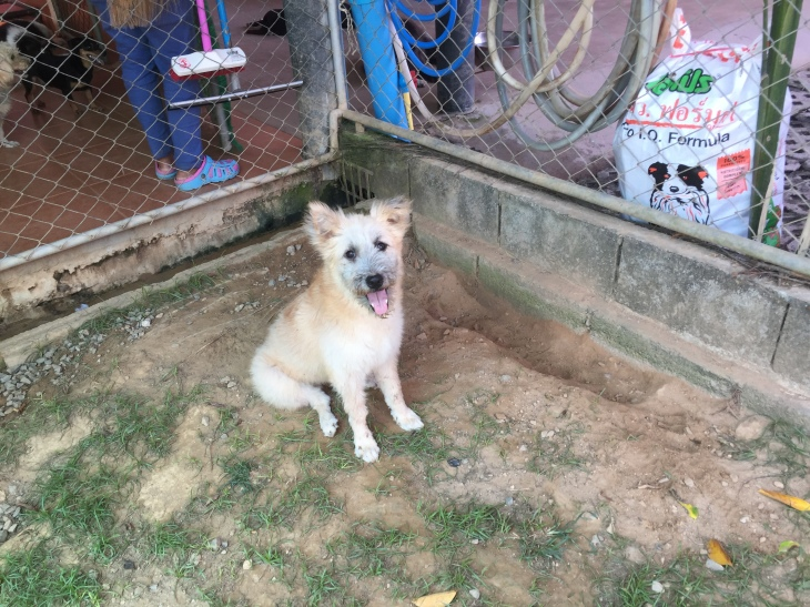 White scruffy puppy at Soi Dog Foundation Phuket