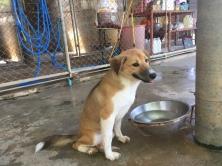 Bown puppy at Soi Dog Foundation Phuket