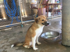 Bown puppy at Soi Dog Foundation Phuket