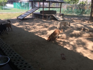 Dogs Playing at Soi Dog Foundation Phuket