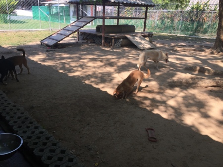 Dogs Playing at Soi Dog Foundation Phuket