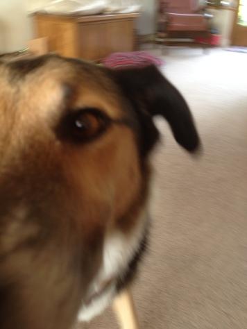 dog staring into camera