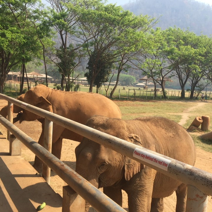 elephants in nature park behind a fence