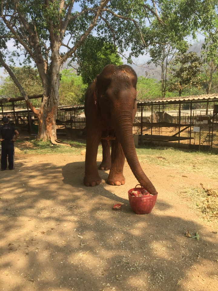 an elephant in Elephant Nature Park, Chiang Mai, eating watermelon