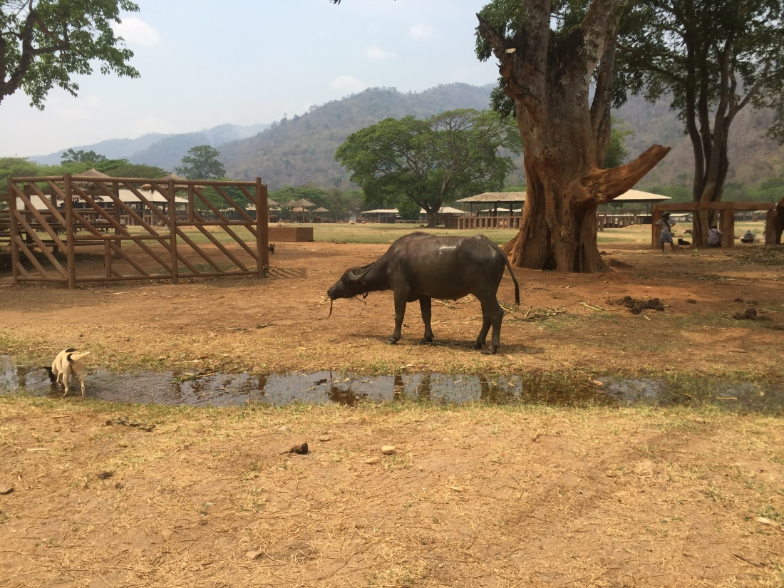 water buffalo and stray dog in Elephant Nature Park
