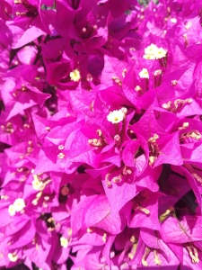 closeup photograph of bougainvillea