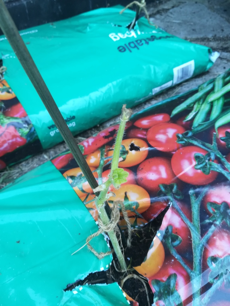 courgettes in a growbag