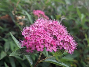 pink Spiraea, found in Southend
